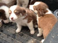Two red merle males -- one with one blue eye $600 and