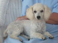 I have a CKC Registered, Show Quality Male Toy Poodle.