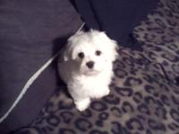 I have 1 Adorable Maltese puppy available,he is