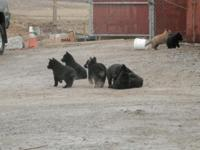 German Shepherd puppies born 1-9-14 parents on site