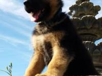 We have 7 amazing German Shepherd Puppies born on