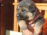 Cute German Shepherd puppies AKC/CKC Puppies ready to
