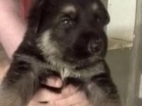 We have 7 BEAUTIFUL German Shepherd puppies looking for