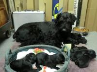 Cute non shedding Giant Schnauzer puppies!! My puppies