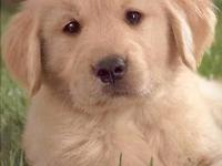I have a female Golden Retriever for sale I'm offering