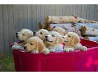 Cute Golden Retriever Puppies. 3 males and 4 females