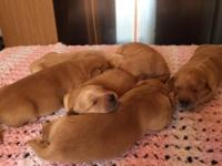 10 adorable golden retriever mix puppies! There are 6