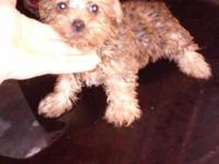 Cute golden yorkie puppies for sale. Two months old,
