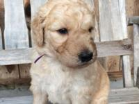M/F Goldendoodle puppies readily available. The young