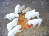 Very cute stock puppies.DOB 10-03-2013, 3 Females--4