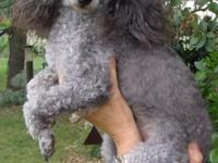 We have one Grey Poodle male puppy available for