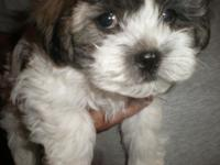 Adorable little male Hava-Tzu puppy available. This is