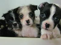 These puppies are so darn cute. They are Havanese cross