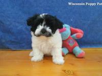 THESE ADORABLE HAVANESE PUPPIES ARE READY FOR HER/HIS