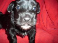 Full blooded Havanese puppies were born May 4th puppies