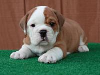 These English Bully puppies are strong, handsome, and