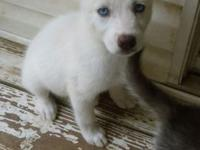 We have 3 female Siberian husky puppy's for sale. They