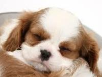 We have two lovely King Charles puppies (one male and