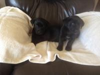 Lab/dachshund puppies. 9 week old. Female and male. Mom
