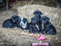 Lab/mix puppies 10 weeks old really healthy and