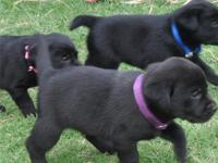 Cute Labrador Retriever pups ready now for more details