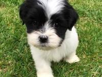 Animal Type: Dogs Breed: Lhasa Apso cute Lhasa Apso