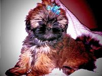 I have a very sweet loving little male Shih Tzu. He is