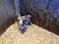 Cute Little Blue Heeler Puppy Born November 22, 2014