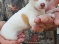 Sweet little Chihuahua puppy to good home. Frankie is