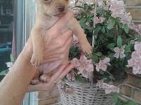 I have two little chihuahua puppies looking for their