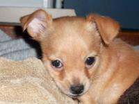 I have a litter of beautiful Chihuahua puppies that