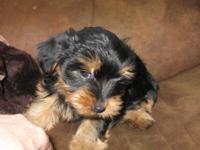 I have an adorable CKC Registered Yorki boy puppy Born