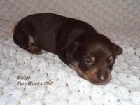 Diego is a cute little CKC registered Chihuahua puppy.