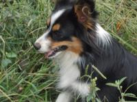 CKC MINIATURE AUSTRALIAN SHEPHERD Her name is Trix All