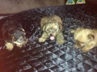 Cute little yorkie puppies for adoption they are CKC