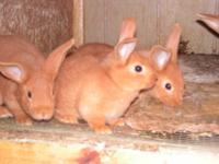 these bunnies come from good bloodlines. blue Flemish