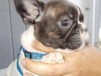 Henri is a brindle pied French bulldog that will be 8
