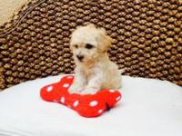 I have these adorable little Maltipoo puppies which are