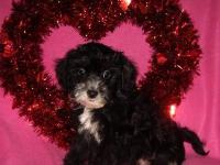Charming little Morkie-Poo puppies are prepared for