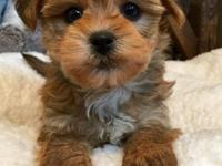Litter of Morkie puppies available for loving,forever
