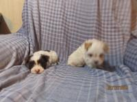 beautiful morkie pups 2 males and 2 females one black