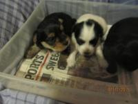 beautiful morkie pups 3 females one black and white one