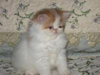 We have a sweet small amount red/white persian male