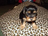 yorkie-poo female pupoy she is 8 weeks on August 5 her