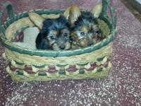Pure breed Yorkies for sale 375.00 each, 1female and 1