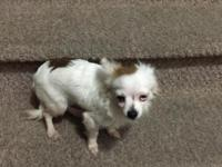 Cute white long hair chihuahua male. He has one blue