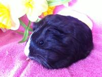 Fast Track Cavies ( breeder of award winning guinea