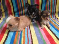 I have three CKC registerable long hair male chihuahua