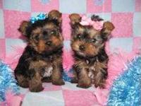 Animal Type: Dogs Breed: yorkshire terrier We are