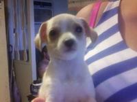 I have one left from a litter of four.Female Chihuahua